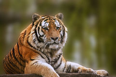 Stunning close up image of tiger Royalty Free Stock Photography