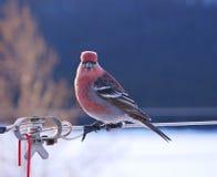 Stunning close-up of red male pine grosbeak Royalty Free Stock Photos