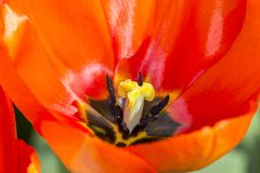 Stunning close up of a tulip with red petals royalty free stock images