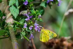 A stunning Clouded yellow Butterfly or Colias croceus necturing on a purple flower. A stunning Clouded yellow Butterfly or Colias croceus necturing on a purple royalty free stock photography