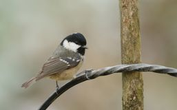 A stunning Coal Tit  Periparus ater perched on a wire bracket. A pretty Coal Tit  Periparus ater perched on a wire bracket Royalty Free Stock Photos
