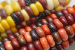 Indian corn closeup. Stunning colors of Indian Corn, aka Jewel Corn. The farmer is a 7-year-old boy living in Boise, Idaho who grew it in his back yard Stock Image