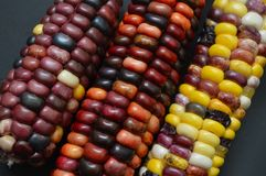 Indian corn closeup. Stunning colors of Indian Corn, aka Jewel Corn. The farmer is a 7-year-old boy living in Boise, Idaho who grew it in his back yard Stock Photos