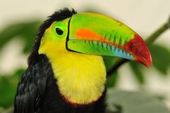 Stunning colors of a rainbow toucan Stock Photos