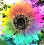 Stunning coloured sunflower, photographed at Golden Gate, South Africa