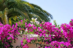Stunning and colourful Bougainvillea on wall of villa in Spain Royalty Free Stock Image