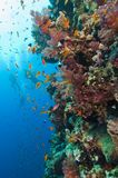 Stunning coral reef wall with divers Stock Image