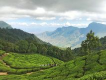 Tea plantations in India. The stunning countryside of Munnar. Plantations grow carpet on several hectares. All of them are evenly trimmed and have a pleasant stock photography