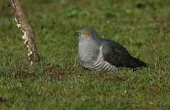 A stunning Cuckoo Cuculus canorus searching on the ground in a meadow for food. A beautiful Cuckoo Cuculus canorus searching on the ground in a meadow for food stock image
