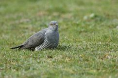 A stunning Cuckoo Cuculus canorus searching on the ground in a meadow for food. A pretty Cuckoo Cuculus canorus searching on the ground in a meadow for food stock photos