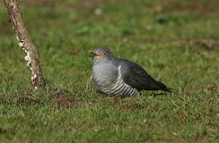 A stunning Cuckoo Cuculus canorus searching on the ground in a meadow for food. A pretty Cuckoo Cuculus canorus searching on the ground in a meadow for food royalty free stock photography