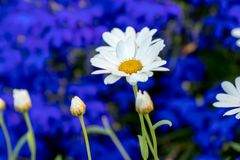 Daisy flower daisies flowers white on blue background stock photos