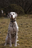 Dalmatian. The Dalmatian has a very distinctive appearance, being either black spotted, or liver spotted, the spots standing out well on the pure white Stock Photos