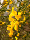 Stunning Dangling Golden Gorse Flower Petals And Heads in the Br. Ight Light of Spring and Sun with Green Branches Behind Bokeh Stunning With Life and Love and royalty free stock photos