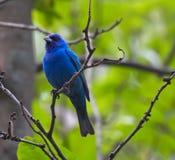 Stunning Dark Blue Indigo Bunting Bird Perched on Tree Branch