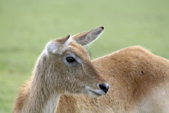 A stunning deer Royalty Free Stock Photography