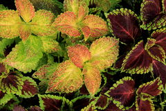 Stunning detail in varieties of Coleus plants Royalty Free Stock Photo