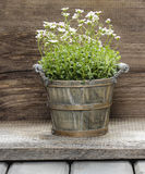 Stunning dianthus flower in a flower pot Stock Photos