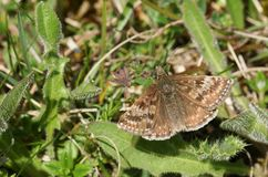 A stunning Dingy Skipper Butterfly Erynnis tages perching on vegetation on the ground. A Dingy Skipper Butterfly Erynnis tages perching on vegetation on the Stock Photography