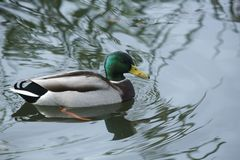 A stunning drake Mallard Duck Anas platyrhynchos swimming in a lake. stock images