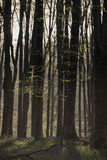 Stunning early morning forest landscape in Spring with sunlight Royalty Free Stock Photos