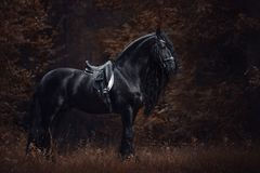 Stunning elegant sport dressage friesian stallion horse with long mane and tail standing on ground in forest