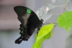 Stunning Emerald Swallowtail. The emerald swallowtail (papilio palinarus) side view resting on a leaf Royalty Free Stock Image