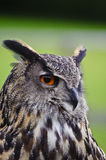 Stunning European eagle owl bubo bubo Stock Images