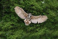 Stunning European eagle owl in flight. Beautiful image of European Eagle Owl in flight bubo bubo royalty free stock photos