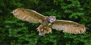 Stunning European eagle owl in flight Stock Images
