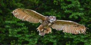 Stunning European eagle owl in flight. Beautiful image of European Eagle Owl in flight bubo bubo stock images