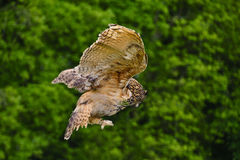 Stunning European eagle owl in flight Royalty Free Stock Photos