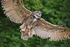 Stunning European eagle owl in flight. Beautiful image of European Eagle Owl in flight bubo bubo stock photography