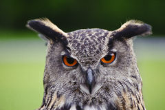 Stunning European eagle owl portrait Royalty Free Stock Image