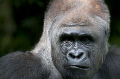 Stunning eye on silverback Stock Photo