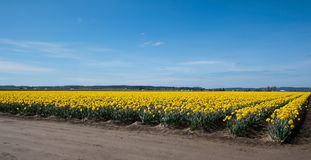 Spring Daffodil Field Spring Landscape royalty free stock images