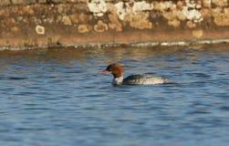 A beautiful female Goosander Mergus merganser fishing on a lake. Royalty Free Stock Photography