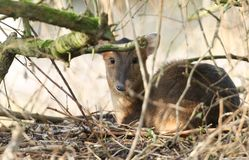 A stunning female Muntjac Deer Muntiacus reevesi lying down resting under a tree in the forest. A female Muntjac Deer Muntiacus reevesi lying down resting under Stock Image