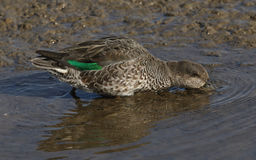 A stunning female Teal Anas crecca feeding by the side of the water Stock Photo