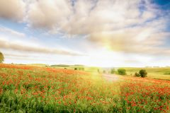 Stunning field of red poppies at sunrise Stock Photography