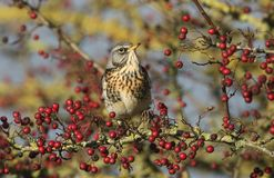 A stunning Fieldfare Turdus pilaris perching on a hawthorn tree eating the berries. A Fieldfare Turdus pilaris perching on a hawthorn tree eating the berries stock photography