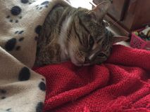 Stunning Fluffy Male Diabetic Senior Cat Model Resting. Tabby Cat Male 12 Years Old Senior Resting on his Blanket. He has green eyes and a diabetic stock photos
