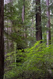 Stunning foliage in the California Redwoods Royalty Free Stock Photos