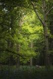 Stunning fox Vulpes Vulpes in vibrant landscape of bluebell wood. Beautiful fox Vulpes Vulpes in vibrant landscape of bluebell woods in Spring royalty free stock images