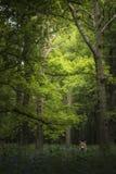 Stunning fox Vulpes Vulpes in vibrant landscape of bluebell wood. Beautiful fox Vulpes Vulpes in vibrant landscape of bluebell woods in Spring stock images