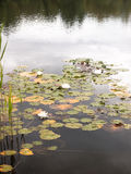 Stunning fresh white water lilies Nymphaea alba , Bobbins on a Stock Image