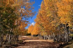 Colorado mountain road lined with Aspen in Fall Colors. Stunning gold leaves and blue sky stock images