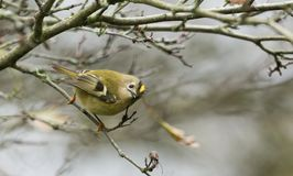 A stunning Goldcrest bird Regulus regulus perched on a branch searching for insects to eat. A Goldcrest bird Regulus regulus perched on a branch searching for stock photography