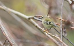 A stunning Goldcrest bird Regulus regulus perched on a branch searching for insects to eat. A Goldcrest bird Regulus regulus perched on a branch searching for royalty free stock photos