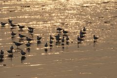 Stunning golden evening sunlight, bouncing off the wet sand and waves, where a flock of Asian seagulls wade in the river delta. royalty free stock photography